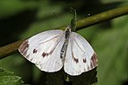 Green-veined white (Pieris napi) female.jpg