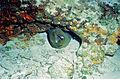 Green Moray (Gymnothorax funebris) (21543046978).jpg