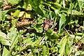 Green cloverworm moth (35324066922).jpg