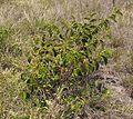 Grewia retusifolia habit.jpg