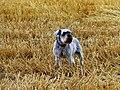 Grey Dog - panoramio.jpg