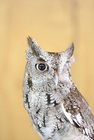 Screech owl - Grey phase screech owl in Florida