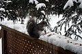 Grey Squirrel 0247 (4241703257).jpg