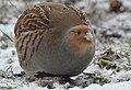 Grey partridge (46454530255).jpg