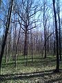 Group of 10 oak trees in Scoreni forest 04.jpg