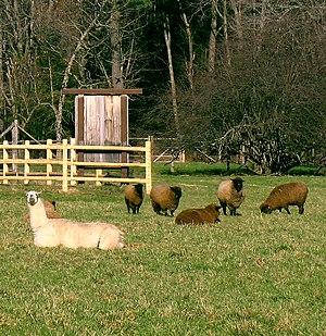Guard llama - Image: Guard llama and flock enhanced