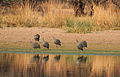 Guinea Fowl coming to drink outside my portable hide. (9868774255).jpg