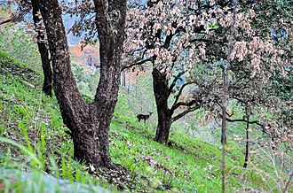 Kasauli - This is a forest view from Gilbert trail which is home to many wildlife species including Sambar deer.