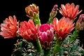 Gymnocalycium Baldianum fiori.jpg