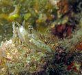 Gymnodoris alba.jpg
