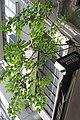 HK 上環 Sheung Wan 差館上街 Upper Station Street green tree leaves 构樹 Broussonetia papyrifera Jan-2018 IX1 02.jpg