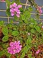 HK 上環 Sheung Wan 般咸道休憩花園 Bonham Road Rest Garden 馬櫻丹 Lantana Camara 臭金鳳 pink flowers plant Feb-2014.JPG