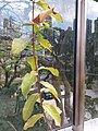 HK Mid-levels High Street clubhouse green leaves plant February 2019 SSG 28.jpg