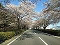 HSR九州の桜並木 Sakura tree namiki - panoramio.jpg
