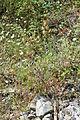 Habitus von Colutea arborescens.JPG