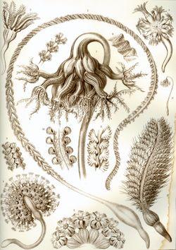 Haeckel Pennatulida.jpg