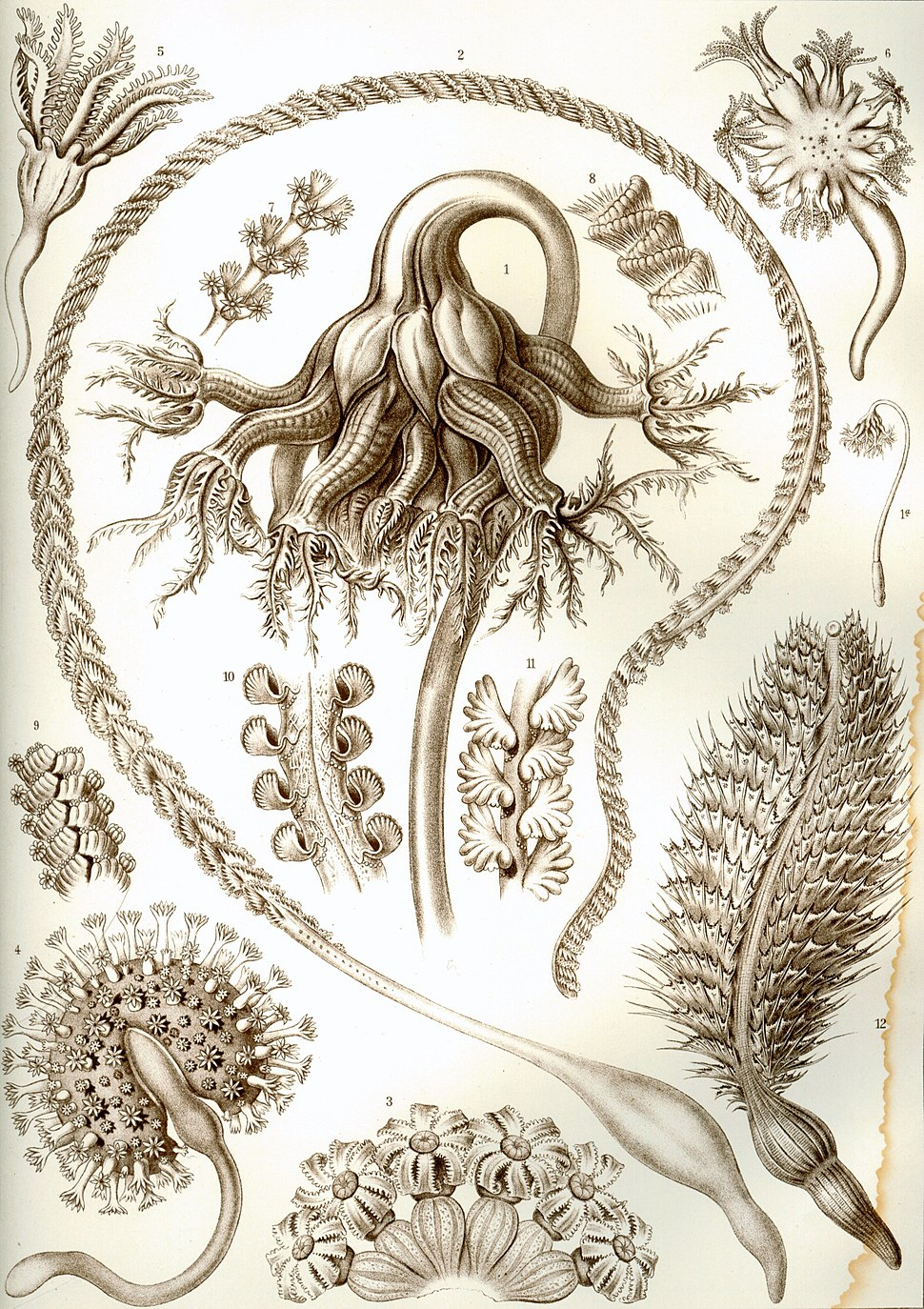 Haeckel Pennatulida