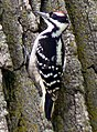Hairy Woodpecker Platte River State Park.jpg