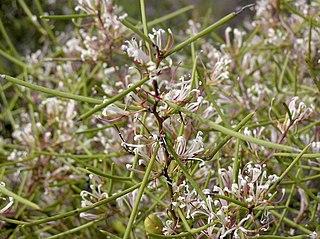 <i>Hakea polyanthema</i> species of plant