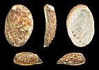 Haliotis diversicolor squamata 01.JPG