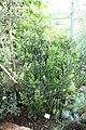 Halle (Saale), botanischer Garten, Ruscus aculeatus.jpg