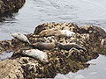 Harbor Seal (Phoca vitulina) 03.jpg