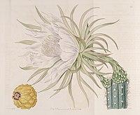 Harrisia gracilis (Cereus repandus) Bot. Reg. 4. 336. 1818