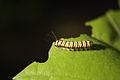 Harrisina american larva Photographed by Shaina Noggle..jpg