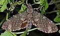 Hawkmoth (Meganoton nyctiphanes) (8688240817) (2).jpg