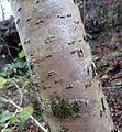 Hazel (Corylus avellana) lenticels.JPG