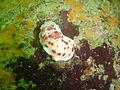 Heather's nudibranch at Pinnacle DSC02698.JPG