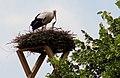 Heidekrug Münster Storch füttert Jungen.jpg