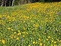 Helianthella uniflora (3482466965).jpg