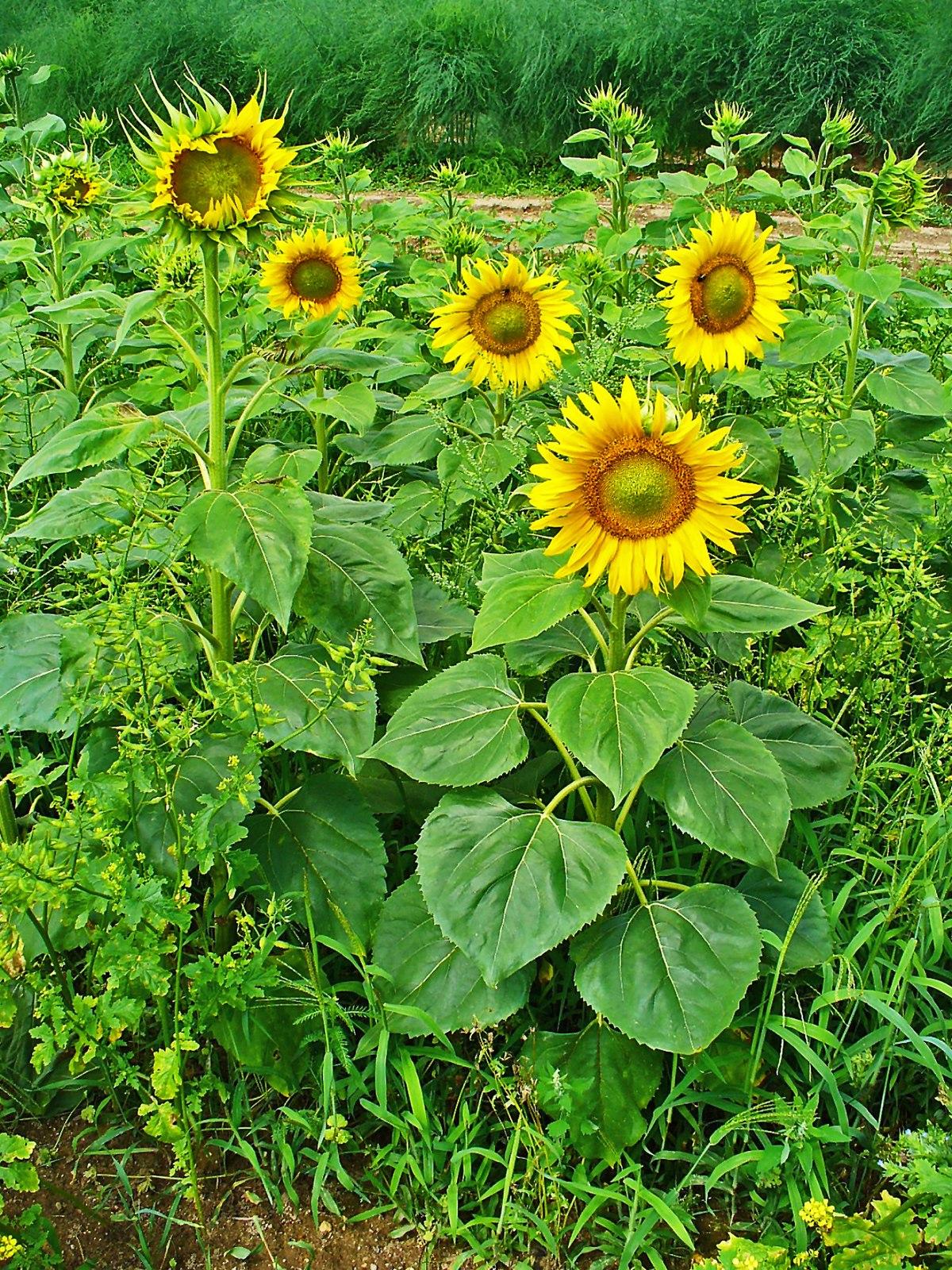Słonecznik zwyczajny – Wikipedia, wolna encyklopedia