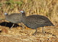 Helmeted Guineafowl, Numida meleagris at Pilanesberg National Park (11155107443).jpg