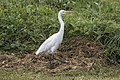 Henry the Great Egret at Shorncliffe-2 (7293066358).jpg