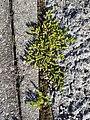 Herniaria glabra sl5.jpg