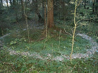 Fairy ring - Profuse ring of Clitocybe nebularis