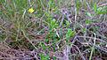 Hibbertia aspera branch (15851722877).jpg