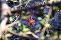 Hibiscus greveanus 1zz.jpg