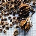 Hibiscus syriacus capsules and seeds.jpg
