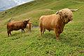 Highland cattle Secëda Gherdëina.jpg
