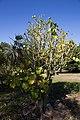 Hildegardia cubensis CF9A4510 Guana.jpg