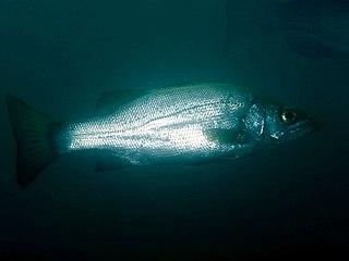 Blackfin seabass Species of fish