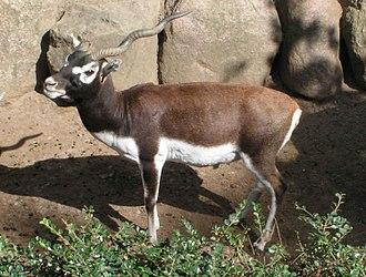 Antilopinae - Blackbuck (Antilope cervicapra)
