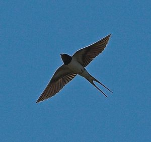 Swallowtail (flag) - A barn swallow in flight. Note the shape of its tail.
