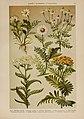 Hoffmann-Dennert botanischer Bilderatlas (Taf. 81) (6425023905).jpg