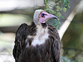 Hooded Vulture RWD2.jpg