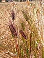 Hordeum vulgare (6 row barley) (3885626261).jpg