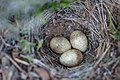 Horned lark nest and eggs (022cff60-bda3-4be7-84db-6f9823e0a011).jpg